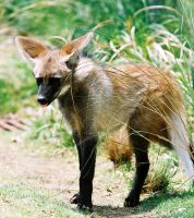Maned Wolf Pup 2 by Jack-13