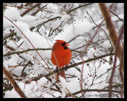 Cardinal in Snow by Mogrianne