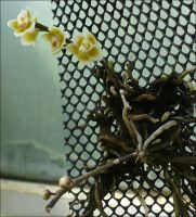 Orchid Chiloschista Lunifera by Undistilled