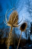 Thistle 02 by gd08