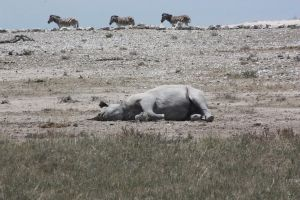 Rhino sleeping by DoWnHIller