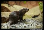 Otter Portrait IV by TVD-Photography