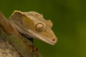Crestie on the lookout by AngiWallace