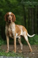 Bracco Italiano by SaNNaS