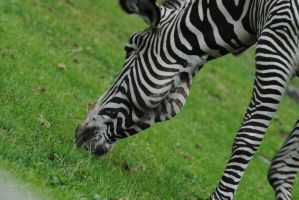 zebra by AngelicPicture