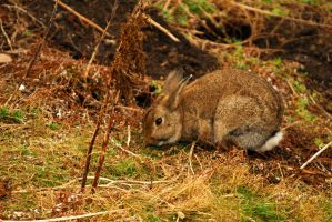Wild Rabbit by Shadow-and-Flame-86