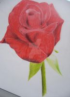 Red rose by snowny