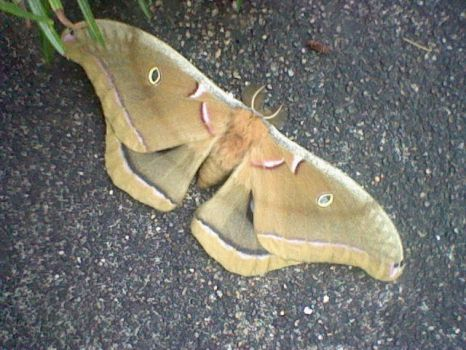 Io Moth on front steps by tonyb500
