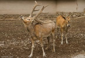 Pere David's Deer by Ketka