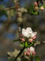 Apple Blossom 14 by botanystock