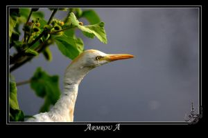 a cattle egret by AMROU-A