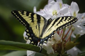 Swallowtail by Rose-and-Psyche