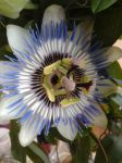 Passion flower by cuypersiris