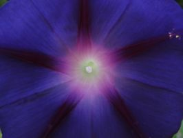 Purple Morning Glory 2 by Nightowl103