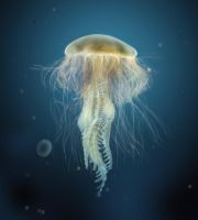 Jellyfish by rafajija