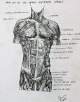 Muscles of the Trunk- Anterior by jessicapenner