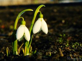 Snowdrop by Bette-Inna