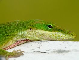 Owner of the Anole eye shot by duggiehoo