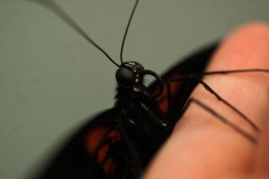Monarch Butterfly II by xXCold-FireXx