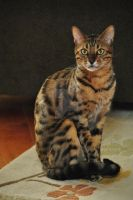 Max the Bengal Cat by Heidi-V-Art