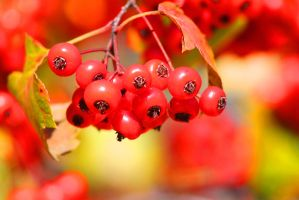 Shiny Red Berries by Nookslider