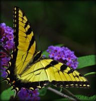 Eastern Tiger Swallowtail by sunflowervlg