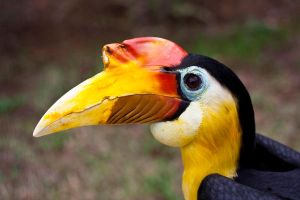 Wrinkled Hornbill by AnjaSchlegelmilch