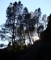 Gray Pines at Pinnacles by Geotripper