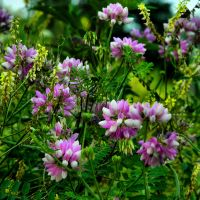 Crown Vetch by TimLaSure
