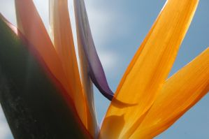 Stock 385 - Bird of Paradise by pink-stock