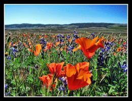 Poppies 4 by SurfGuy3