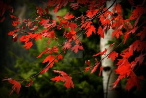 Red Maple Leaves Near Sundance by houstonryan