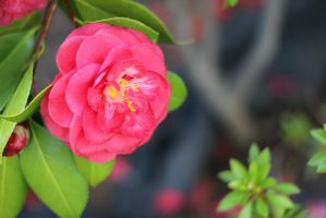 Just a Camellia by AtomicBrownie