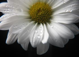 Dreamy daisy by LucieG-Stock