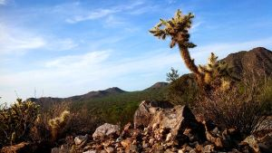 South Mountain Cholla by PonderosaPower