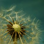 Tell-Time Dandelion by Toni-Dogma