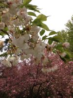 Brooklyn Botanic Garden - White Sakura and Pink by Blueheart1331