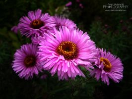 Pink flowers by adunio-photos