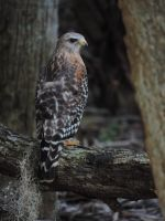 Another Red Shoulded Hawk by illmatar