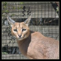 Caracal 2 by Globaludodesign