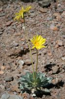 Panamint Daisy by connorz16