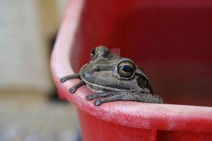 Frog in a bucket by JodyS