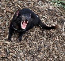 tasmanian devil by shellLOLface