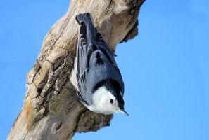 White Breasted Nuthatch by WisteriaPhotography