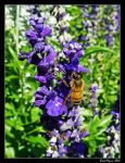 Lavender Bee by DarthIndy