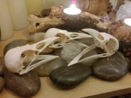 Huge Real Carrion Crow Skulls For Sale by Witch-crafted