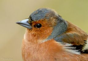 Common Chaffinch profilepicture by ErikEK