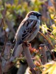 Little  Sparrow in the Spring by littleriverqueen