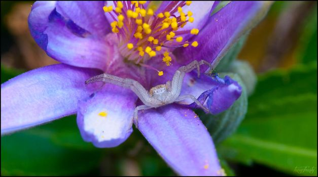 Waiting (Crab Spider) by Frostola