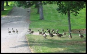 Canadian Geese by EzzyGezzy